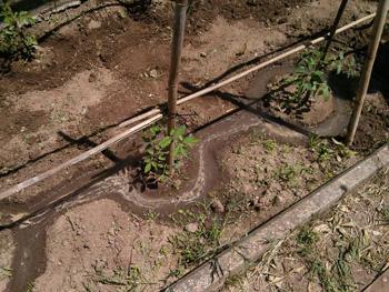 Orto in giardino irrigare i pomodori in modo intelligente for Irrigazione a goccia per pomodori